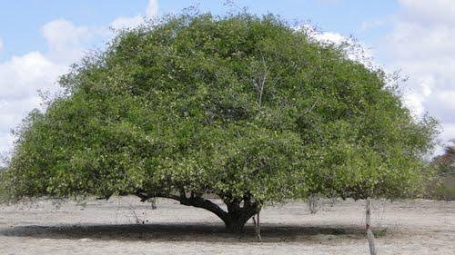 Umbuzeiro dos suicidas (www.onordeste.com)